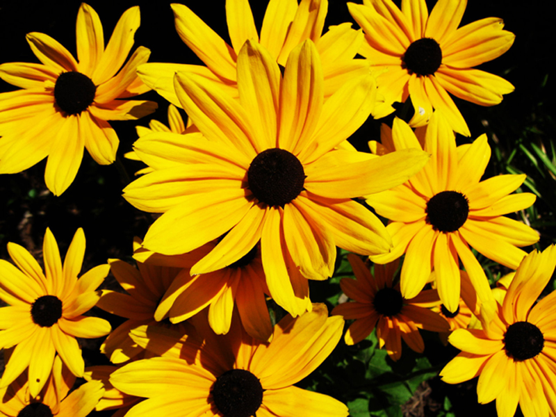 Sweet Black Eyed Susan Sunborn